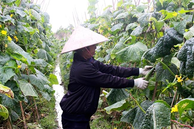 Mô hình chuyển đổi đất lúa sang trồng dưa chuột tại xã Canh Nậu, huyện Yên Thế cho hiệu quả kinh tế cao