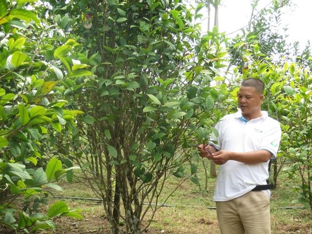 Nịnh Văn Chắn bắt đầu trồng trà Hoa vàng từ việc mua lại những cây giống của người dân đi rừng.