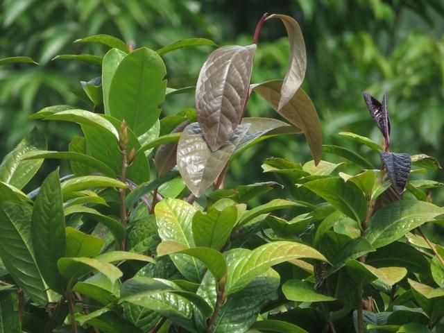 Không chỉ hoa mà lá loại cây rừng này cũng có nhiều công dụng chữa bệnh
