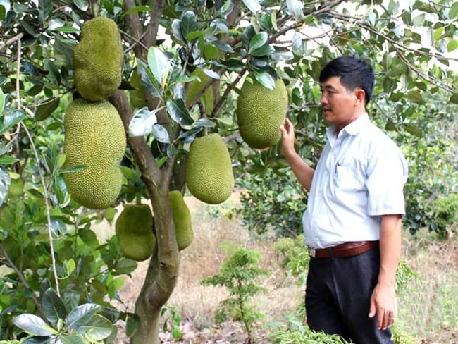 Mô hình trồng mít sạch của nông dân ở Phước Hà