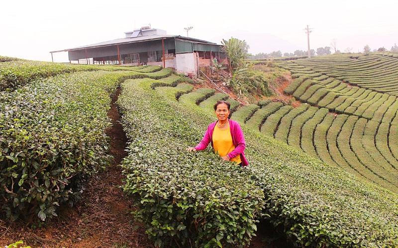 Bà Hà Ngọc Quỳnh, nữ doanh nhân cả đời gắn bó với vùng chè huyện Hải Hà, tỉnh Quảng Ninh
