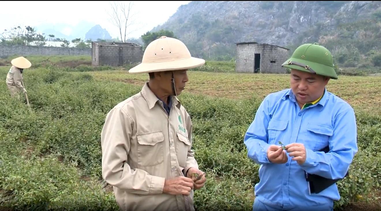 Anh Phan Trung Kiên (áo xanh) bên vườn cà gai leo sạch của Công ty cổ phần nông nghiệp công nghệ cao Thăng Long