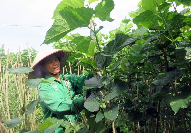 Lâm Hà đang phát triển trồng dâu nuôi tằm, mang lại thu nhập khá ổn định cho người dân