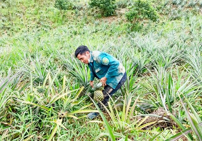 Cây dứa có nhiều tiềm năng phát triển ở Đam Rông