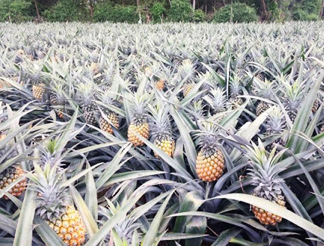 Đã có khoảng 15 ha dứa được người dân đưa vào trồng tại các xã Rô Men, Đạ Rsal và Phi Liêng