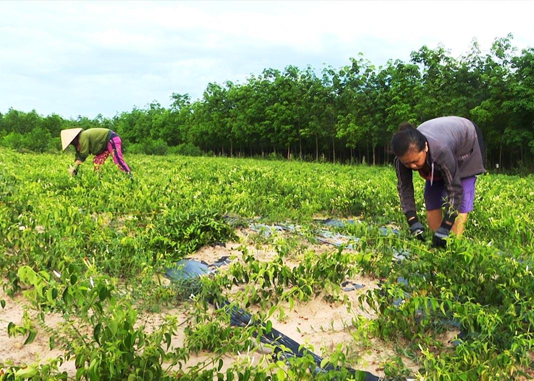 Nông dân chăm sóc vườn cây Chè Vằng hữu cơ, nguyên liệu để sản xuất cao Chè Vằng.
