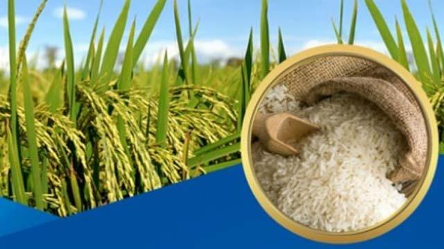 Giá lúa gạo hôm nay tại các tỉnh Đồng bằng sông Cửu Long đi ngang sau khi điều chỉnh giảm mạnh đồng loạt hôm qua, riêng lúa OM 5451 giảm 100 đồng