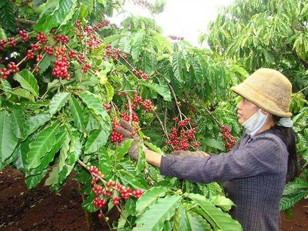 Giá cà phê hôm nay 28/7/2021, thị trường trong nước giảm nhẹ. Ảnh: Internet