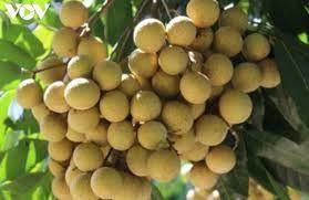 Nhãn là một trong những nông sản chính của tỉnh Đồng Tháp và Sóc Trăng
