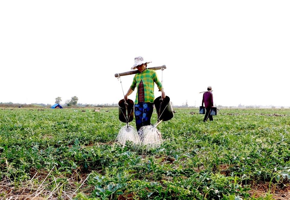 Sản xuất nông nghiệp thích ứng với biến đổi khí hậu để bảo đảm an ninh lương thực. (Trong ảnh: Trồng dưa hấu mùa khô mang lại nguồn thu nhập đáng kể cho các hộ nông dân tại Sóc Trăng)