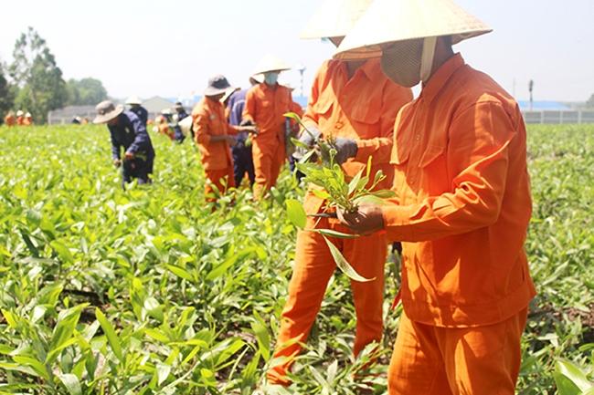 Các học viên tại Cơ sở Điều trị nghiện ma túy tỉnh Đồng Nai (đóng tại xã Suối Cao, huyện Xuân Lộc) tham gia lao động trị liệu