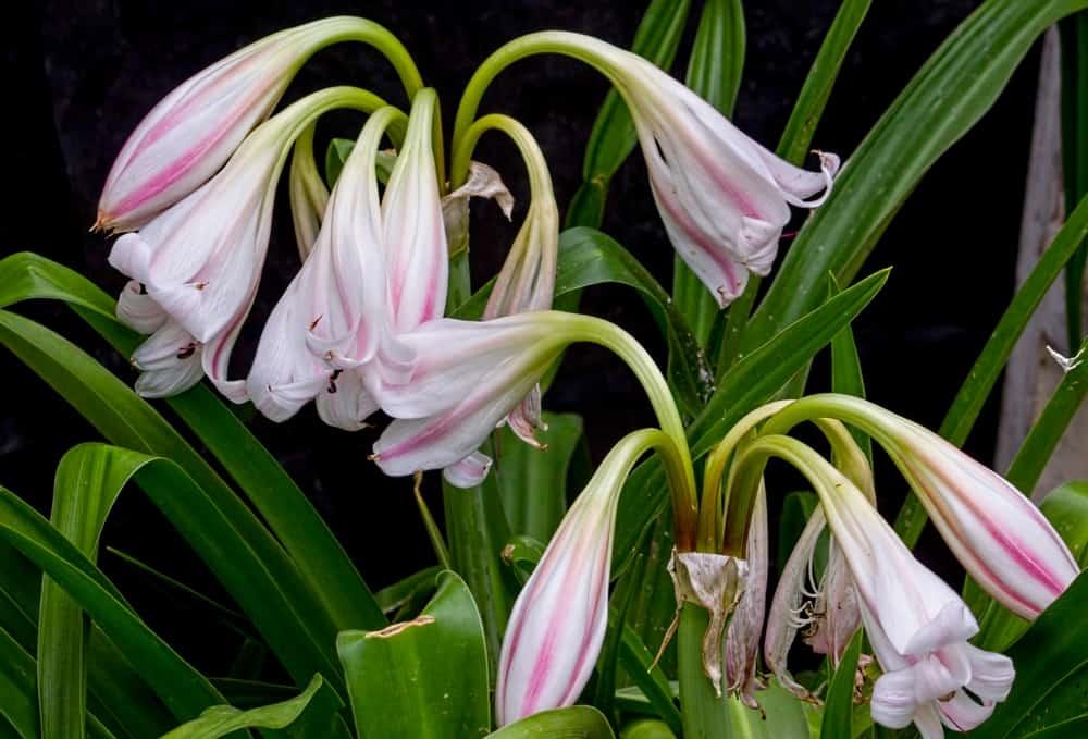 Trong dân gian, cây trinh nữ hoàng cung được sử dụng để chữa trị rất nhiều bệnh khác nhau