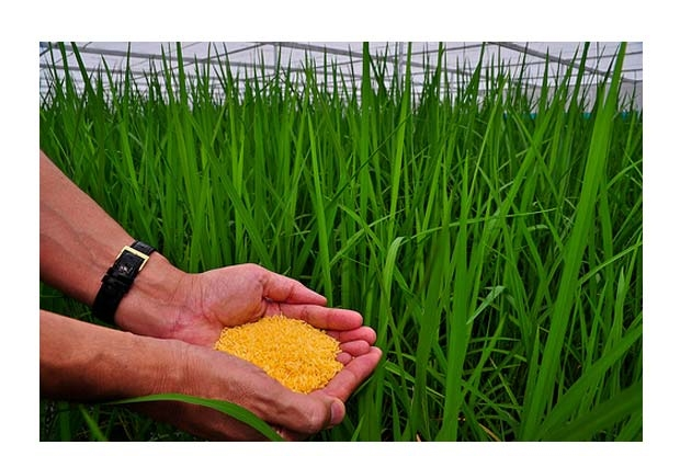 Philippines là quốc gia đầu tiên trên thế giới cấp phép canh tác gạo vàng BĐG - Golden Rice.
