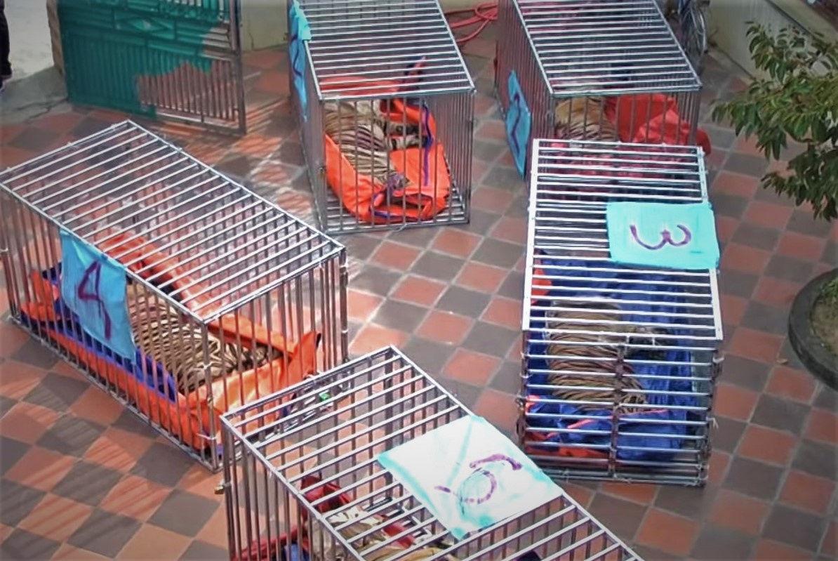 Theo kết quả kiểm tra, 17 con hộ bị nuôi nhốt trái phép là loài hổ Đông Dương, nằm trong danh mục động vật cực kỳ nguy cấp ở Việt Nam. Ảnh khoahocdoisong.vn