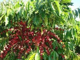 Tại các vùng trồng trọng điểm, giá cà phê giao dịch trong khoảng 36.000 - 36.900 đồng/kg