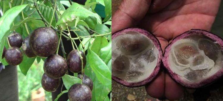 Tuyệt đối không ăn quả Hồng Châu cũng như các loại quả dại khác để phòng tránh ngộ độc