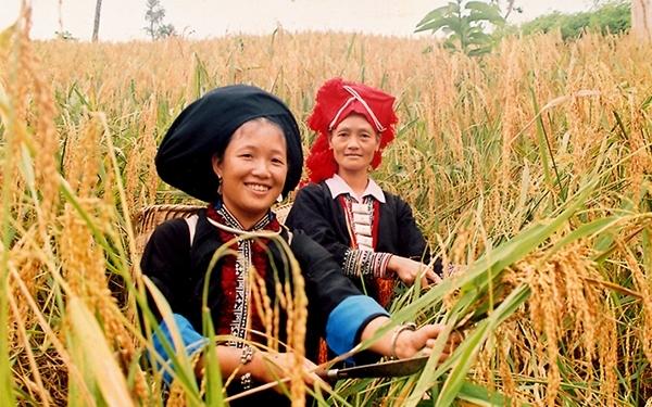Mùa vàng trên các triền núi cao Điện Biên (Ảnh TL)