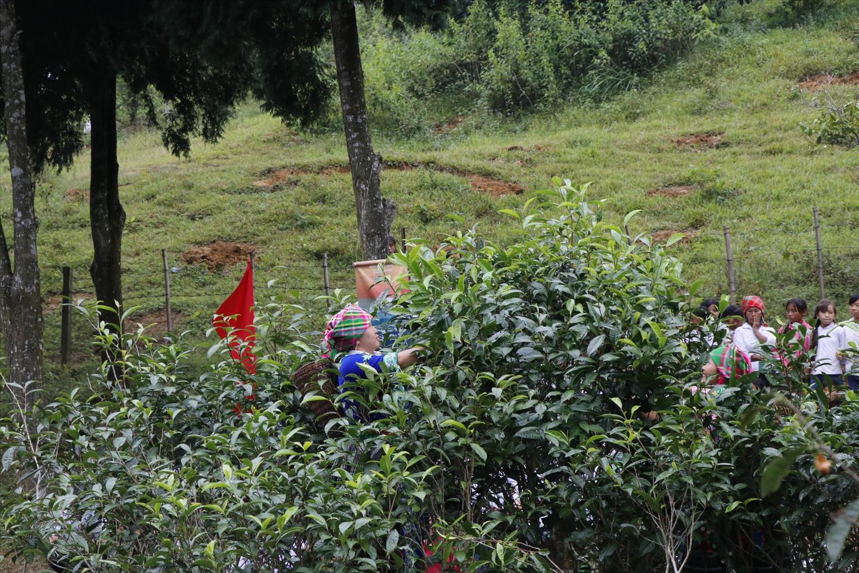 Với những chính sách và giải pháp phù hợp, thời gian tới cây chè sẽ là 1 trong 10 cây trồng chủ lực của tỉnh Yên Bái