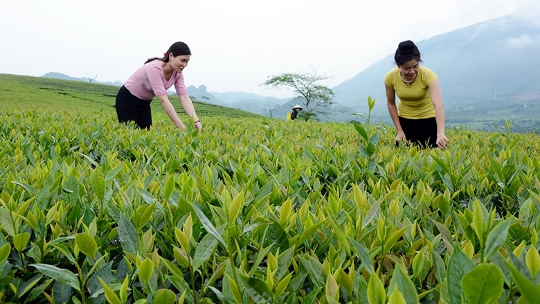 Nhiều vùng chè Shan đặc sản đã và đang được tỉnh Yên Bái quy hoạch, hỗ trợ người nông dân để mở rộng diện tích