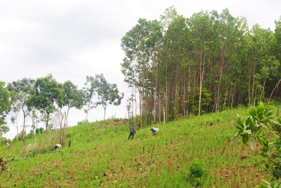 Đồng bào Cơ Tu thôn Pà Rum chăm sóc lúa rẫy
