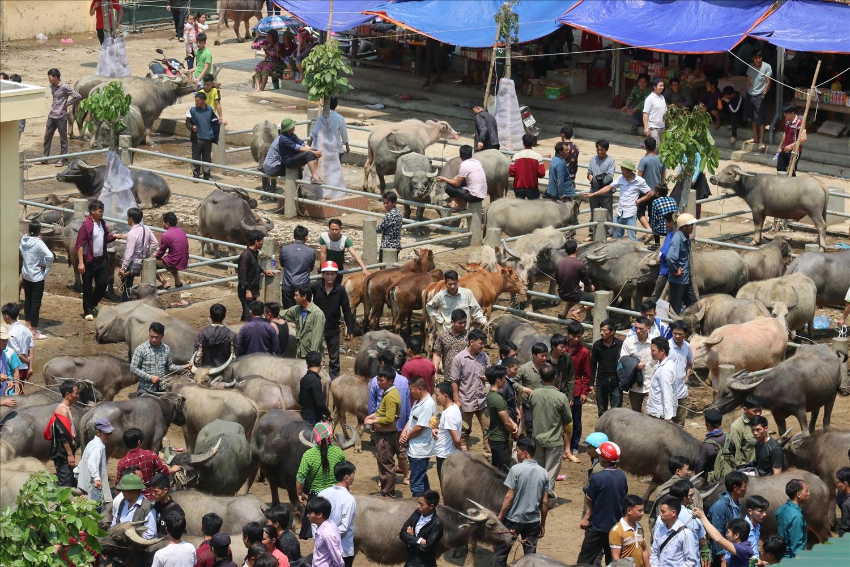 Chăn nuôi đại gia súc: Mũi nhọn phát triển kinh tế vùng dân tộc thiểu số và miền núi hiệu quả