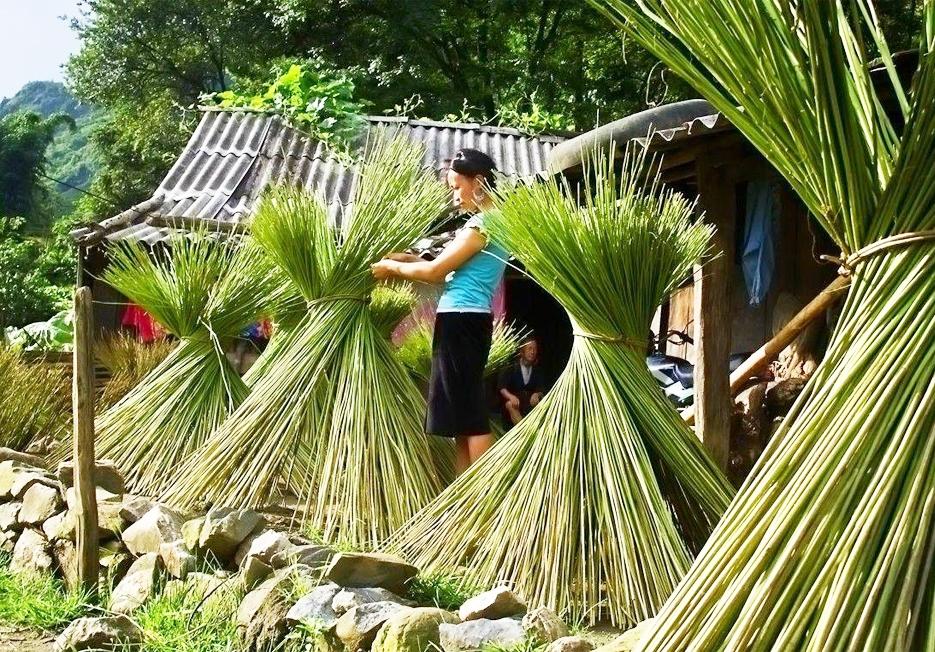 Cây lanh mang về được phơi nắng cho khô