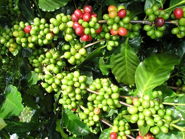 Bệnh nấm hồng trên cây cà phê