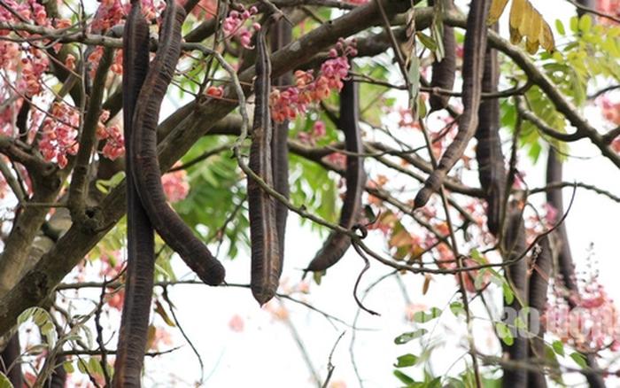 Trong y học cổ truyền cây ô môi là một vị thuốc nam quý có nhiều công dụng điều trị và chữa bệnh mang hiệu quả cao.