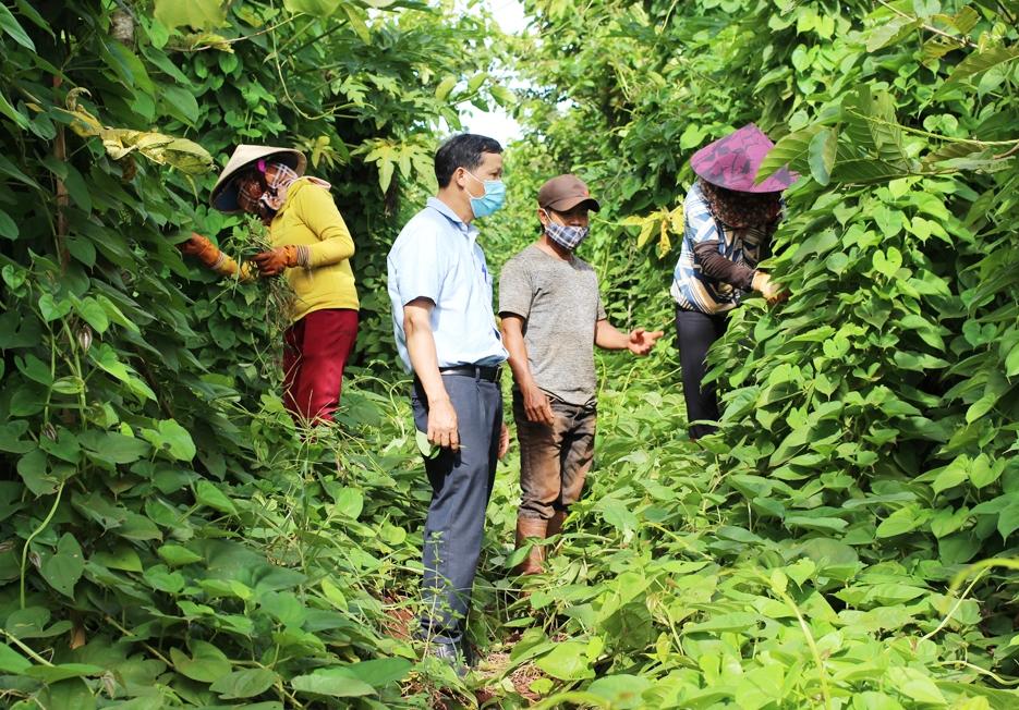 Ông Nguyễn Văn Hợp, Trưởng phòng NN&PTNT huyện Chư Sê (áo trắng) trao đổi với người dân về cách chăm sóc cây dược liệu