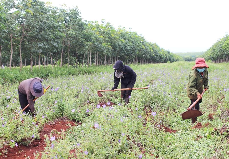 Các HTX, công ty trồng dược liệu đã thu hút được rất nhiều lao động, đặc biệt là người đồng bào DTTS, góp phần giải quyết nhu cầu việc làm cho người dân trên địa bàn.