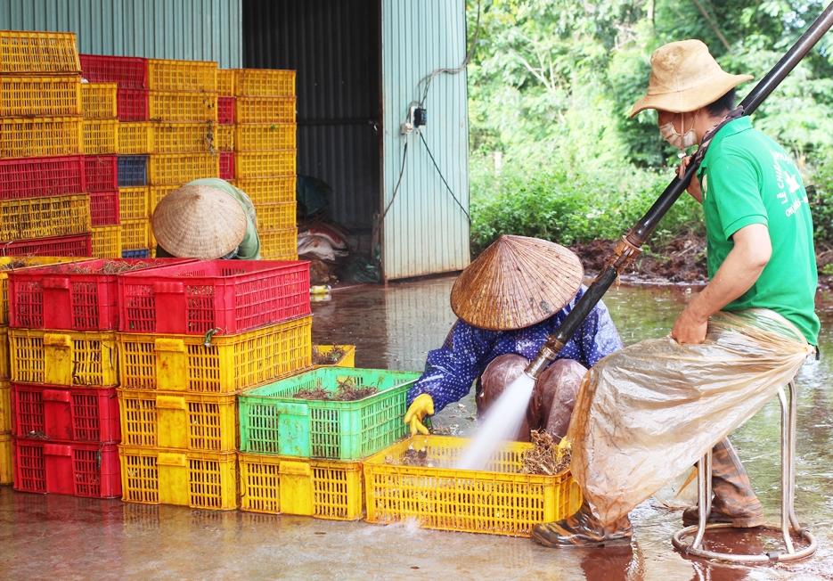 Công nhân của HTX Nông nghiệp Công nghệ cao Quang Minh đang thực hiện các quy trình sơ chế sản phẩm từ cây dược liệu