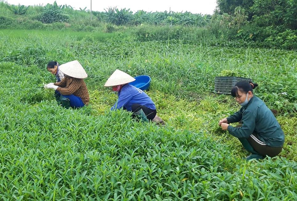 Người dân xã Vũ Yển (Thanh Ba, Phú Thọ) cùng nhau hái rau muống ủng hộ bà con vùng dịch