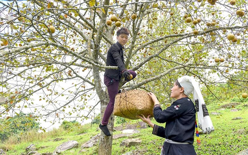 Bình quân mỗi cây cho thu hoạch từ 50 kg đến 1 tạ quả