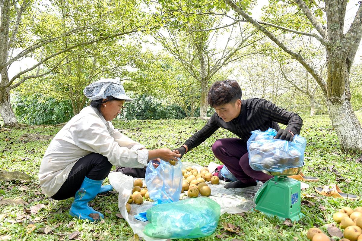 Hiện nay lê Hồng Thái đang có giá 20 nghìn đồng/kg