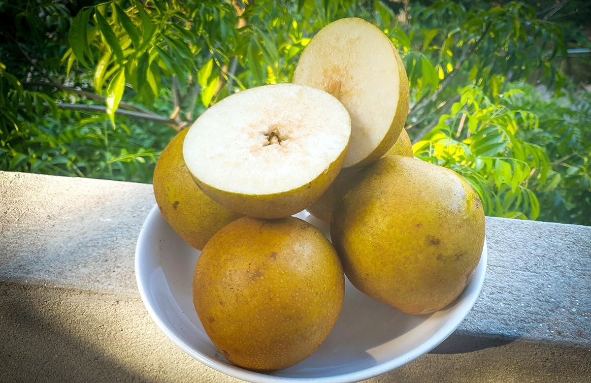 Khi chín quả lê căng mọng nước, giòn mềm và ngọt mát
