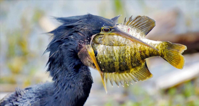 Con chim cốc có thể bắt được những con cá rất to