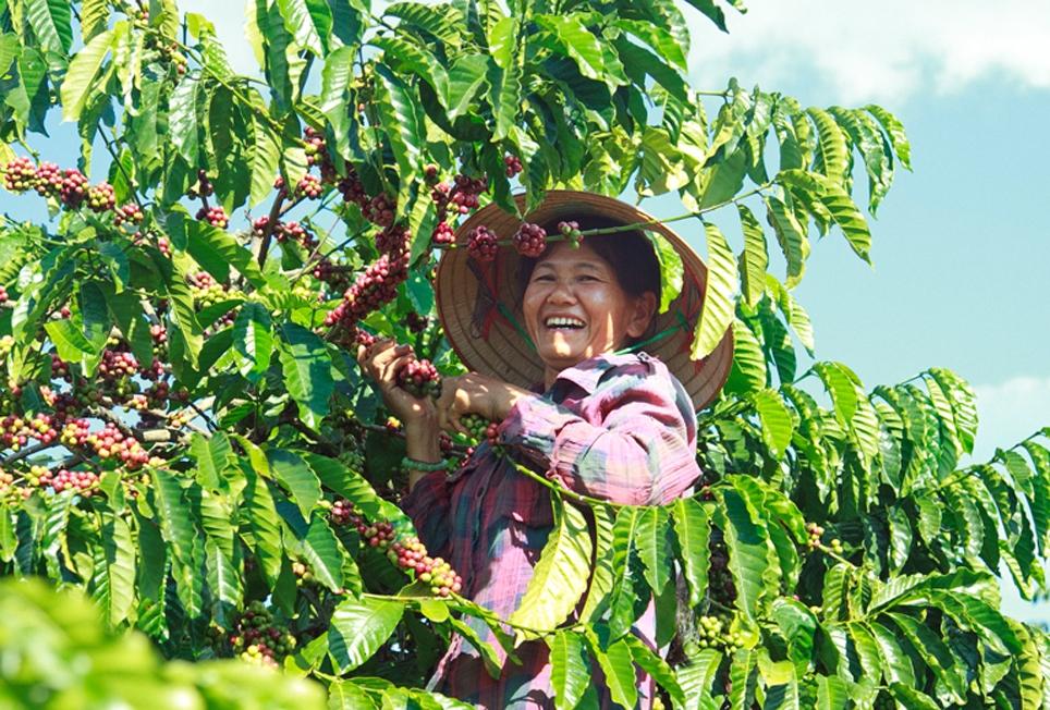 Lực lượng lao động thu hái cà phê đến từ ngoại tỉnh như các năm trước hiện nay thiếu hụt do ảnh hưởng của dịch bệnh Covid-19