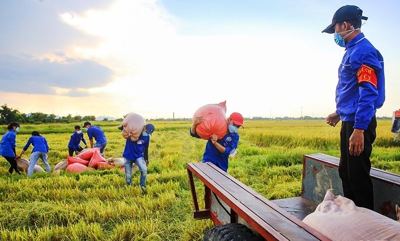Đoàn viên thanh niên huyện Cẩm Xuyên, tỉnh Hà Tĩnh giúp dân thu hoạch lúa giữa mùa dịch