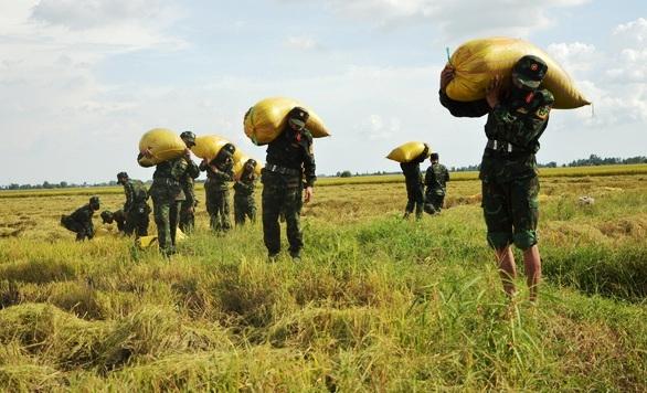 Lực lượng vũ trang Sư đoàn 330 gặt lúa giúp dân ở thị trấn Cô Tô, huyện Tri Tôn, tỉnh An Giang