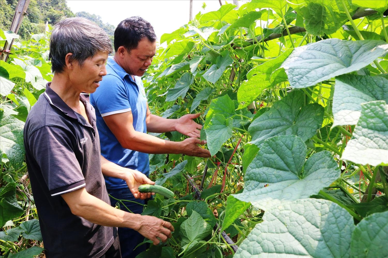 Anh Vàng Thống Cáo (mặc áo xanh ) hướng dẫn người dân kỹ thuật trồng dưa leo