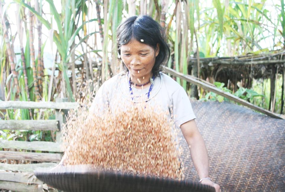 Amế Ploong Chơi, người làng Abanh 1 (xã Tr'hy) đang sảy lúa Xươn để loại bỏ những hạt lép