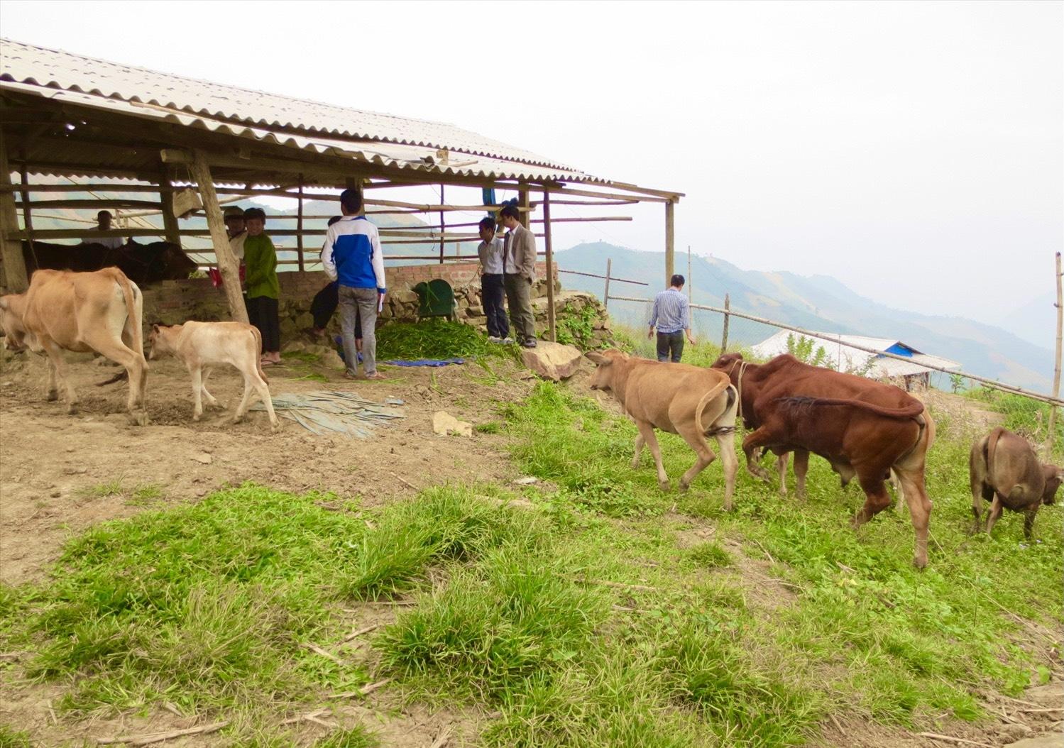Mô hình chăn nuôi bò của đồng bào Mường Lát