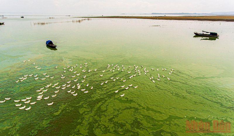 Khi cạn, nước tại khu vực này chuyển thành màu xanh ngắt do rong, tảo ở dưới đáy tạo ra. Người dân địa phương tận dụng thời gian hồ cạn, dòng nước thu hẹp đưa đàn vịt ra ăn tảo xanh trên mặt hồ