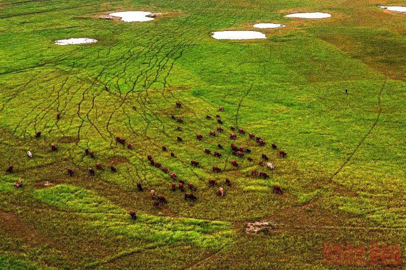 Nước cạn, đáy tạo ra đồng cỏ xanh, gia súc đến đây tìm kiếm thức ăn