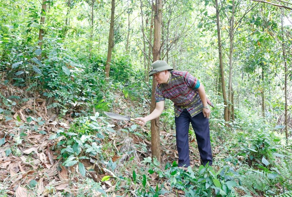 Ông Đinh Ngọc Tin, dân tộc Mường, khu Tân Trào, xã Minh Đài, huyện Tân Sơn chăm sóc rừng kèo của gia đình
