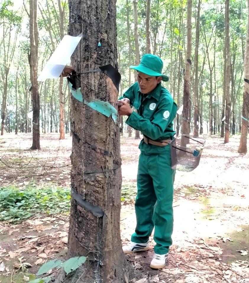 Công nhân Rơ Chăm Chuyr đang thực hiện công đoạn cạo mủ cao su