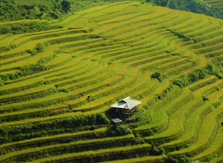 Khắp các nương đồi vùng cao Bắc Hà, lúa đang chuyển màu vàng, báo hiệu mùa làm cốm bắt đầu.