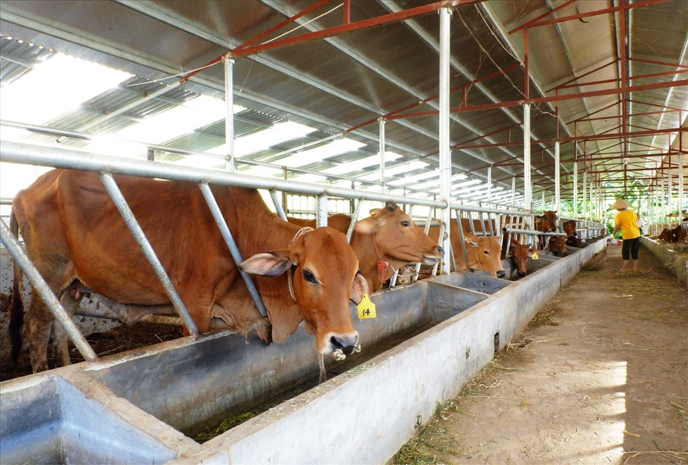 Đàn bò của HTX Thanh Phong được nuôi nhốt tập trung