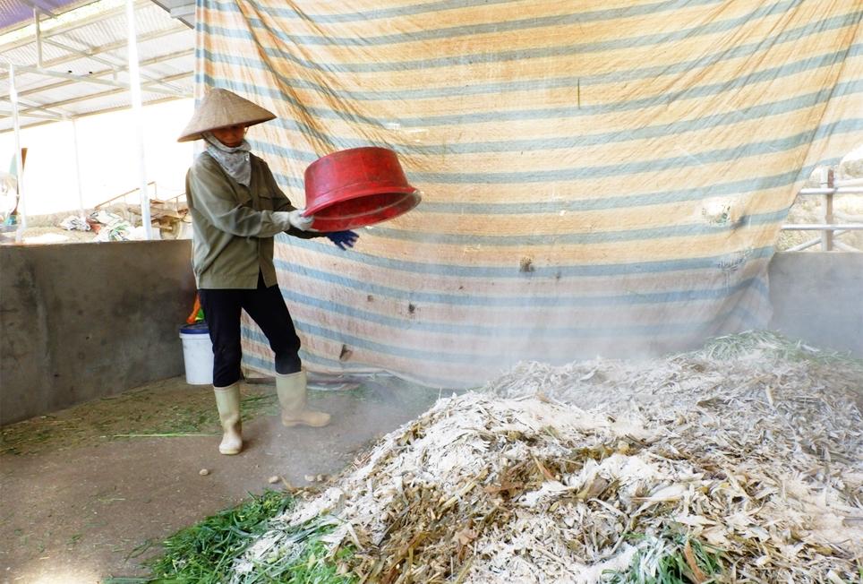 Thành viên HTX Thanh Phong ủ thức ăn cho đàn bò