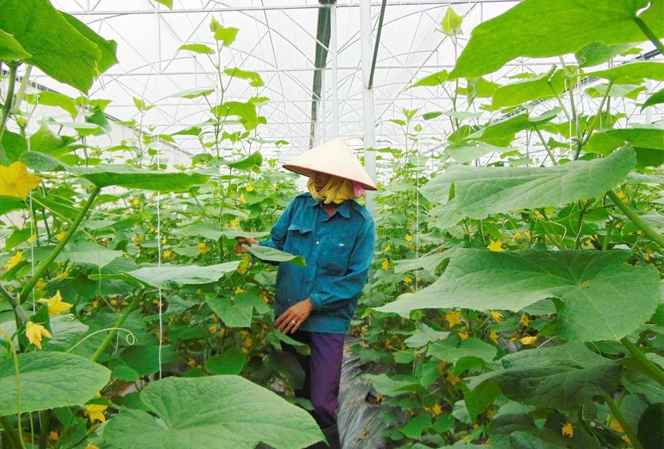 Người dân trồng dưa lưới sạch tại HTX rau sạch Yên Dũng
